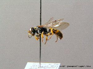 (Crossocerus binotatus - BC ZSM HYM 08178)  @13 [ ] CreativeCommons - Attribution Non-Commercial Share-Alike (2010) Stefan Schmidt SNSB, Zoologische Staatssammlung Muenchen
