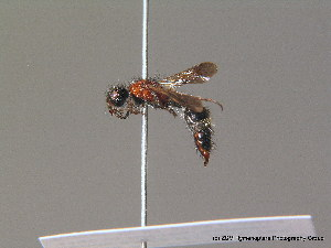(Dasylabrinae - BC ZSM HYM 10612)  @13 [ ] CreativeCommons - Attribution Non-Commercial Share-Alike (2011) Stefan Schmidt SNSB, Zoologische Staatssammlung Muenchen