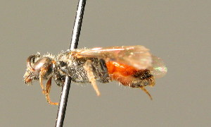 (Sphecodes miniatus - BC ZSM HYM 01454)  @14 [ ] CreativeCommons - Attribution Non-Commercial Share-Alike (2010) Stefan Schmidt SNSB, Zoologische Staatssammlung Muenchen