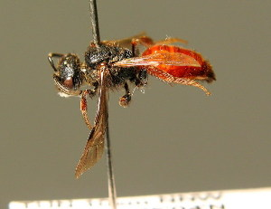 (Sphecodes ruficrus - BC ZSM HYM 01472)  @14 [ ] CreativeCommons - Attribution Non-Commercial Share-Alike (2010) Stefan Schmidt SNSB, Zoologische Staatssammlung Muenchen