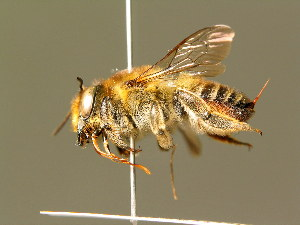 (Megachile maritima - BC ZSM HYM 01880)  @14 [ ] CreativeCommons - Attribution Non-Commercial Share-Alike (2010) Stefan Schmidt SNSB, Zoologische Staatssammlung Muenchen
