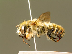 (Megachile maritima - BC ZSM HYM 01883)  @14 [ ] CreativeCommons - Attribution Non-Commercial Share-Alike (2010) Unspecified ZSM (Zoologische Staatssammlung Muenchen)
