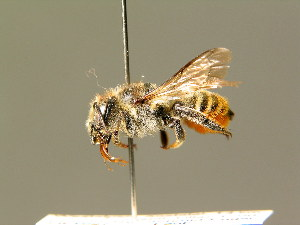 (Megachile pyrenaea - BC ZSM HYM 01897)  @14 [ ] CreativeCommons - Attribution Non-Commercial Share-Alike (2010) Stefan Schmidt SNSB, Zoologische Staatssammlung Muenchen