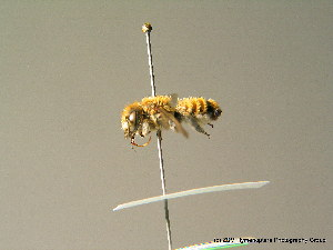 (Megachile deceptoria - BC ZSM HYM 06987)  @13 [ ] CreativeCommons - Attribution Non-Commercial Share-Alike (2010) Stefan Schmidt SNSB, Zoologische Staatssammlung Muenchen