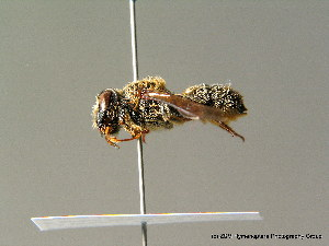 (Megachile rufescens - BC ZSM HYM 07007)  @13 [ ] CreativeCommons - Attribution Non-Commercial Share-Alike (2010) Stefan Schmidt SNSB, Zoologische Staatssammlung Muenchen