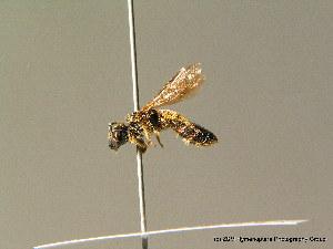 ( - BC ZSM HYM 07026)  @12 [ ] CreativeCommons - Attribution Non-Commercial Share-Alike (2010) Stefan Schmidt ZSM (Zoologische Staatssammlung Muenchen)