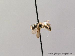( - BC ZSM HYM 08534)  @13 [ ] CreativeCommons - Attribution Non-Commercial Share-Alike (2010) Stefan Schmidt ZSM (Zoologische Staatssammlung Muenchen)