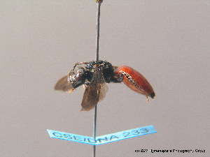 (Sphecodes albilabris - BC ZSM HYM 08742)  @14 [ ] CreativeCommons - Attribution Non-Commercial Share-Alike (2010) Stefan Schmidt SNSB, Zoologische Staatssammlung Muenchen