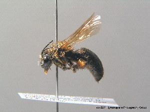 ( - BC ZSM HYM 08751)  @11 [ ] CreativeCommons - Attribution Non-Commercial Share-Alike (2010) Stefan Schmidt ZSM (Zoologische Staatssammlung Muenchen)