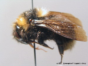 (Bombus barbutellus - BC ZSM HYM 08964)  @15 [ ] CreativeCommons - Attribution Non-Commercial Share-Alike (2010) Stefan Schmidt SNSB, Zoologische Staatssammlung Muenchen