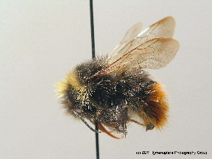 (Bombus wurflenii - BC ZSM HYM 08979)  @14 [ ] CreativeCommons - Attribution Non-Commercial Share-Alike (2010) Stefan Schmidt SNSB, Zoologische Staatssammlung Muenchen