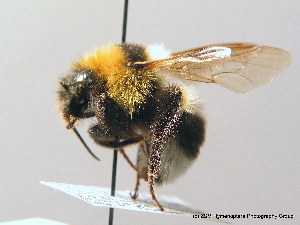 (Bombus ruderatus - BC ZSM HYM 08984)  @14 [ ] CreativeCommons - Attribution Non-Commercial Share-Alike (2010) Stefan Schmidt SNSB, Zoologische Staatssammlung Muenchen