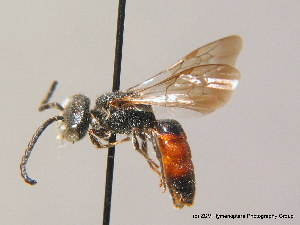 (Sphecodes gibbus - BC ZSM HYM 09512)  @15 [ ] CreativeCommons - Attribution Non-Commercial Share-Alike (2010) Stefan Schmidt SNSB, Zoologische Staatssammlung Muenchen