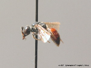 (Sphecodes marginatus - BC ZSM HYM 09134)  @14 [ ] CreativeCommons - Attribution Non-Commercial Share-Alike (2010) Stefan Schmidt SNSB, Zoologische Staatssammlung Muenchen