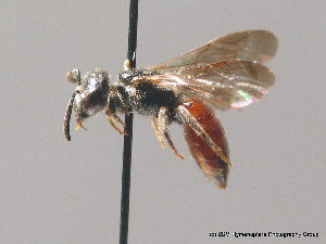 (Sphecodes rufiventris - BC ZSM HYM 09182)  @14 [ ] CreativeCommons - Attribution Non-Commercial Share-Alike (2010) Stefan Schmidt SNSB, Zoologische Staatssammlung Muenchen