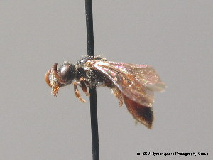 (Sphecodes niger - BC ZSM HYM 09185)  @14 [ ] CreativeCommons - Attribution Non-Commercial Share-Alike (2010) Stefan Schmidt SNSB, Zoologische Staatssammlung Muenchen