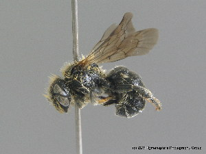 (Osmia spinulosa - BC ZSM HYM 09805)  @15 [ ] CreativeCommons - Attribution Non-Commercial Share-Alike (2010) Stefan Schmidt SNSB, Zoologische Staatssammlung Muenchen