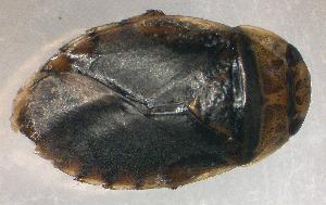 (Naucoridae - BC ZSM AQU 00014)  @14 [ ] CreativeCommons - Attribution Share-Alike (2010) Zoologische Staatssammlung Muenchen SNSB, Zoologische Staatssammlung Muenchen