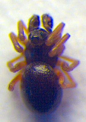 (Trichopterna - BC ZSM ARA 00155)  @12 [ ] CreativeCommons - Attribution Share-Alike (2010) Zoologische Staatssammlung Muenchen SNSB, Zoologische Staatssammlung Muenchen