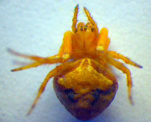 (Araneus triguttatus - BC ZSM ARA 00316)  @12 [ ] CreativeCommons - Attribution Non-Commercial Share-Alike (2010) SNSB, Zoologische Staatssammlung Muenchen SNSB, Zoologische Staatssammlung Muenchen