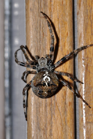 (Araneus angulatus - GBOL08296)  @15 [ ] CreativeCommons - Attribution Non-Commercial Share-Alike (2009) Joerg Spelda SNSB, Zoologische Staatssammlung Muenchen