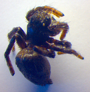 (Philaeus - BC ZSM ARA 00448)  @12 [ ] CreativeCommons - Attribution Share-Alike (2010) Zoologische Staatssammlung Muenchen SNSB, Zoologische Staatssammlung Muenchen