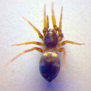 (Phrurolithus - BC ZSM ARA 00462)  @15 [ ] CreativeCommons - Attribution Share-Alike (2010) Zoologische Staatssammlung Muenchen SNSB, Zoologische Staatssammlung Muenchen
