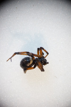 (Steatoda paykulliana - ZSM_B_ARACH_940)  @13 [ ] CreativeCommons - Attribution Non-Commercial Share-Alike (2015) SNSB, Zoologische Staatssammlung Muenchen SNSB, Zoologische Staatssammlung Muenchen