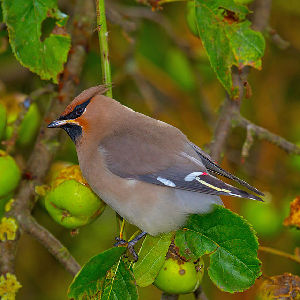 (Bombycilla garrulus - Aves_BFB_Hawlitschek_2014-10-25_0072)  @14 [ ] Unspecified (default): All Rights Reserved  Unspecified Unspecified