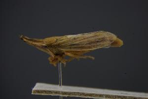 (Dorycephalinae - BC_ZSM_CIC_0058)  @11 [ ] by-nc-sa (2016) SNSB, Staatliche Naturwissenschaftliche Sammlungen Bayerns ZSM (SNSB, Zoologische Staatssammlung Muenchen)