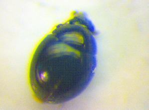 (Sphaeriusidae - BC ZSM COL 01715)  @12 [ ] CreativeCommons - Attribution Non-Commercial Share-Alike (2010) Stefan Schmidt SNSB, Zoologische Staatssammlung Muenchen