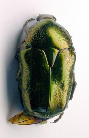 (Protaetia fieberi - BC ZSM COL 01913)  @14 [ ] CreativeCommons - Attribution Non-Commercial Share-Alike (2010) Stefan Schmidt ZSM (Zoologische Staatssammlung Muenchen)