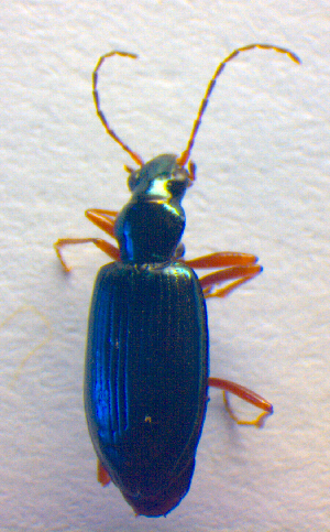 (Bembidion fulvipes - BC ZSM COL 02519)  @12 [ ] CreativeCommons - Attribution Share-Alike (2010) Zoologische Staatssammlung Muenchen Zoologische Staatssammlung Muenchen