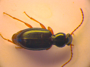 (Bembidion stomoides - BC ZSM COL 03250)  @13 [ ] CreativeCommons - Attribution Share-Alike (2010) Zoologische Staatssammlung Muenchen Zoologische Staatssammlung Muenchen