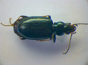 (Bembidion tibiale - BC ZSM COL 03189)  @13 [ ] CreativeCommons - Attribution Share-Alike (2012) Zoologische Staatssammlung Muenchen Zoologische Staatssammlung Muenchen