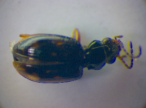 (Bembidion octomaculatum - BFB_Col_FK_3535)  @12 [ ] CreativeCommons - Attribution Share-Alike (2010) Zoologische Staatssammlung Muenchen Zoologische Staatssammlung Muenchen