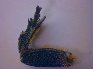 (Protaetia morio - BFB_Col_FK_4700)  @11 [ ] CreativeCommons - Attribution Share-Alike (2012) Zoologische Staatssammlung Muenchen SNSB, Zoologische Staatssammlung Muenchen
