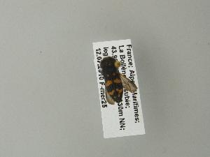 (Acmaeoderella - BCZSM_COLA_01049)  @11 [ ] CreativeCommons - Attribution Share-Alike (2012) Zoologische Staatssammlung Muenchen Zoologische Staatssammlung Muenchen