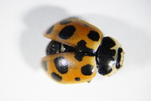 (Coccinellidae - BFB_Col_FK_9296)  @16 [ ] Unspecified (default): All Rights Reserved  Unspecified Unspecified