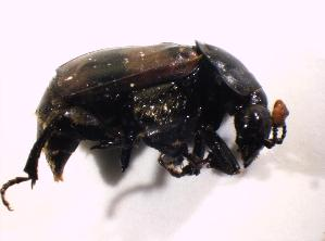 (Nicrophorus vespillo - BFB_Col_FK_7660)  @13 [ ] Unspecified (default): All Rights Reserved  Unspecified Unspecified