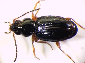 (Bembidion gilvipes - BFB_Col_FK_8516)  @13 [ ] Unspecified (default): All Rights Reserved  Unspecified Unspecified