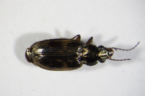 (Bembidion varium - BFB_Col_FK_10079)  @14 [ ] Unspecified (default): All Rights Reserved  Unspecified Unspecified