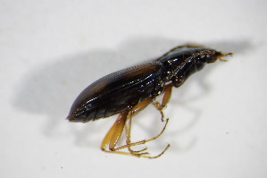 (Bembidion atrocaeruleum - BFB_Col_FK_10133)  @13 [ ] Unspecified (default): All Rights Reserved  Unspecified Unspecified
