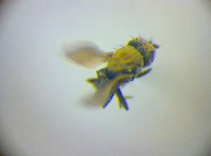 (Schema - BC ZSM DIP 02219)  @11 [ ] CreativeCommons - Attribution Share-Alike (2010) Zoologische Staatssammlung Muenchen SNSB, Zoologische Staatssammlung Muenchen