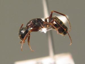 (Camponotus fallax - BC ZSM HYM 00290)  @11 [ ] CreativeCommons - Attribution Non-Commercial Share-Alike (2010) Stefan Schmidt SNSB, Zoologische Staatssammlung Muenchen