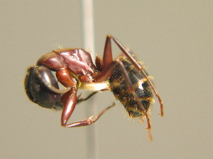 (Camponotus ligniperda - BC ZSM HYM 00301)  @13 [ ] CreativeCommons - Attribution Non-Commercial Share-Alike (2010) Stefan Schmidt SNSB, Zoologische Staatssammlung Muenchen
