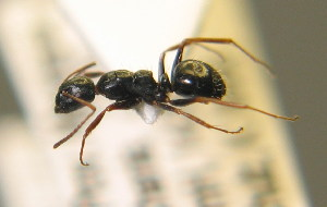 (Camponotus piceus - BC ZSM HYM 00302)  @11 [ ] CreativeCommons - Attribution Non-Commercial Share-Alike (2010) Stefan Schmidt SNSB, Zoologische Staatssammlung Muenchen