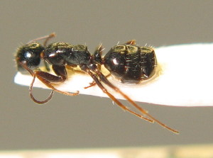 (Camponotus piceus - BC ZSM HYM 00304)  @11 [ ] CreativeCommons - Attribution Non-Commercial Share-Alike (2010) Stefan Schmidt SNSB, Zoologische Staatssammlung Muenchen