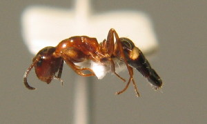 (Camponotus truncatus - BC ZSM HYM 00306)  @13 [ ] CreativeCommons - Attribution Non-Commercial Share-Alike (2010) Stefan Schmidt SNSB, Zoologische Staatssammlung Muenchen