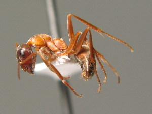 (Formica rufibarbis - BC ZSM HYM 00356)  @14 [ ] CreativeCommons - Attribution Non-Commercial Share-Alike (2010) Stefan Schmidt SNSB, Zoologische Staatssammlung Muenchen
